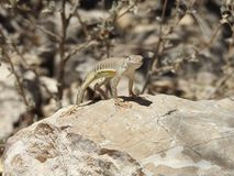 Greater Earless Lizard. Doing push ups on a rock in Texas. This was taken in the Franklin Mountains in El Paso, Texas Royalty Free Stock Image