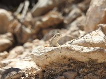 Greater Earless Lizard. Basking in the sun on a rock in Texas. This was taken in the Franklin Mountains in El Paso, Texas Stock Photos