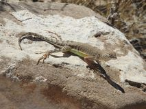 Greater Earless Lizard. Basking in the sun on a rock in Texas. This was taken in the Franklin Mountains in El Paso, Texas Royalty Free Stock Images