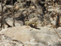 Greater Earless Lizard. Basking in the sun on a rock in Texas. This was taken in the Franklin Mountains in El Paso, Texas Royalty Free Stock Photography
