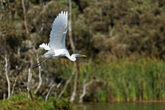 Greater egret in flight. A greater egret in flight over a pond stock image