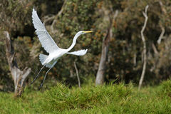 Greater egret flying away. A greater egret flying away over a pond Stock Photography
