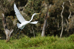 Greater egret Royalty Free Stock Photo