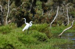 Greater egrets. On the edge of their pond stock images