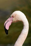 Greater Flamingo. Just the head seen from aside aganist a green background royalty free stock photography