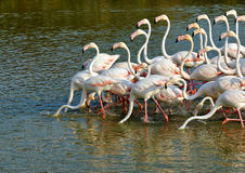 Greater Flamingo. A flock of Greater Flamingo feeding in Camargue, France Stock Images