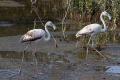 A pair of Greater Flamingo stock image