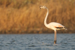 Greater Flamingo. The greater flamingo, Phoenicopterus roseus, is the most widespread of all the Flamingo species. It is found from Europe to S.E.Asia and large Royalty Free Stock Images
