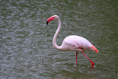 Free Greater Flamingo Royalty Free Stock Images - 15380009