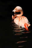 Greater Flamingo Stock Photo