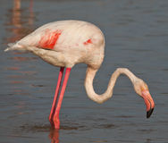 A Greater Flamingo Stock Photo