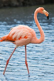 A greater flamingo. A grater flamingo (Phoenicopterus roseus) fishing in Las Bachas lagoon at Santa Cruz Island, Galapagos, Ecuador Royalty Free Stock Photos