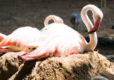 Greater Flamingo. (Phoenicopterus roseus stock image