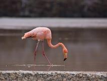 Greater Flamingo. A Greater Flamingo (phoenicopterus roseus) eating shrimp Stock Images