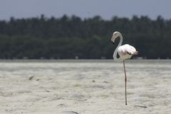 Greater flamingo. Standing on one leg Royalty Free Stock Image