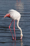 Greater Flamingo Stock Photography