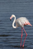 Greater flamingo. (Phoenicopterus ruber) standing in the shallow water of the Namibian coast stock image