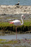 Greater Flamingo. (Phoenicopterus ruber) at the Namibian coast Stock Photos