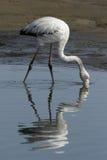 Greater Flamingo Stock Image