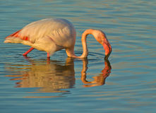 Greater Flamingo At Sunset Royalty Free Stock Photography