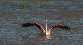 Greater Flamingo bathing Stock Photos