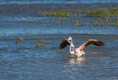 Greater Flamingo bathing Stock Image