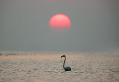 Greater Flamingo and beautiful sun Royalty Free Stock Photography