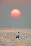 Greater Flamingo and beautiful sun Stock Images