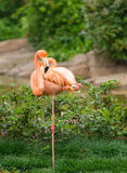 Greater flamingo Royalty Free Stock Photos