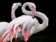 Greater Flamingo bended neck Stock Photography