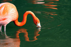 Greater Flamingo bird Royalty Free Stock Images