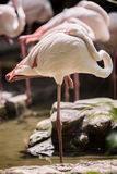 Greater Flamingo cleaning its feathers Royalty Free Stock Photos