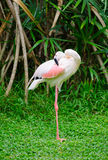 Greater flamingo cleans itself Royalty Free Stock Photo