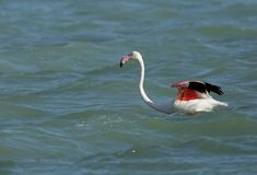 Greater Flamingo with colorful feathers wading in water. Flamingos are beautiful and gregarious wading birds royalty free stock photos
