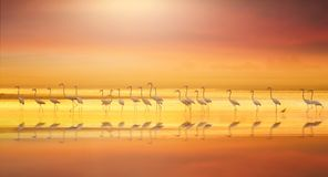 Greater flamingo in colorful lake royalty free stock image
