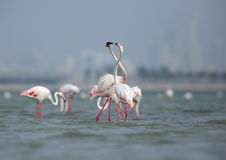 Greater Flamingo courtship Stock Photo