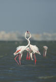 Greater Flamingo courtship Royalty Free Stock Images