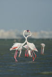 Greater Flamingo courtship Stock Photography