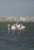 Greater Flamingo courtship Stock Image