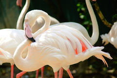 Greater flamingo. Did his neck like `S Stock Photography