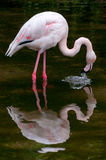 Greater Flamingo drinking water mirror Royalty Free Stock Photography