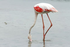 Greater Flamingo eating food Royalty Free Stock Image
