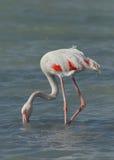 Greater Flamingo feeding Stock Photo