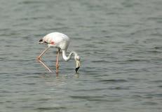 Greater Flamingo feeding Royalty Free Stock Image
