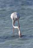 Greater Flamingo feeding food in Arad bay Stock Photography