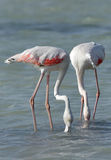 Greater Flamingo feeding food in Arad bay during low tide Stock Images