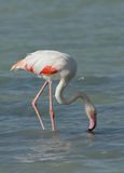 Greater Flamingo feeding food in Arad bay during low tide Stock Photos