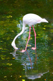 Greater flamingo feeds Stock Photography