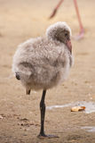 Greater flamingo fledgling / Phoenicopterus roseus Royalty Free Stock Image