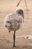 Greater flamingo fledgling / Phoenicopterus roseus Royalty Free Stock Image